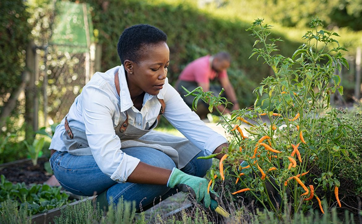 African,American,Woman,Picking,Vegetables,From,Garden.,Mature,Woman,Working